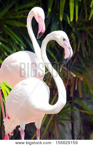 Close up of pink flamingo in Khao Kheow Zoo, Thailand.
