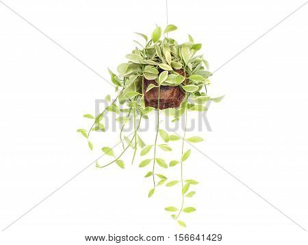 Green house plant hanging on white background