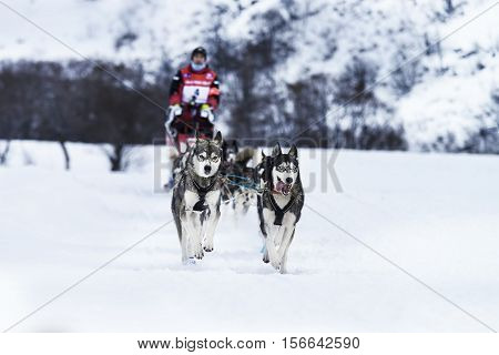 SARDIERES VANOISE FRANCE - JANUARY 18 2016 - the GRANDE ODYSSEE the hardest mushers race in savoie Mont-Blanc Jean COMBAZARD french musher Vanoise Alps