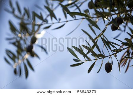 Olive leaves silhouetted against a sunset sky