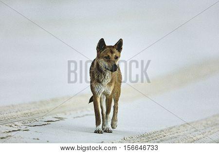 Australian Dingo on beach