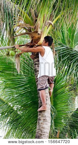 Asian Man Climbing Up To Coconut Tree