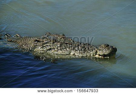 Australian Saltwater Crocodile in water