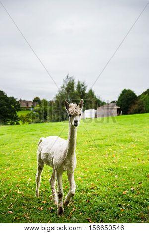 Lamas In A Rural Scene