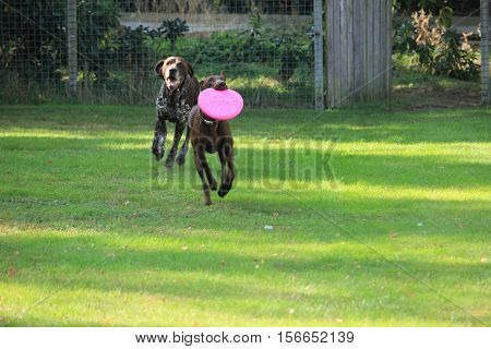 German Shorthaired Pointers playing with a frisbee