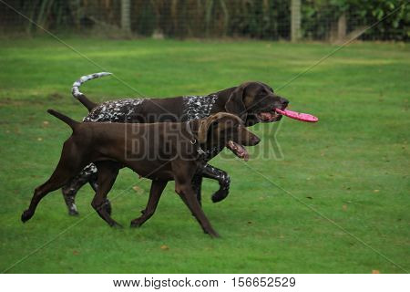 German Shorthaired Pointers playing in a field