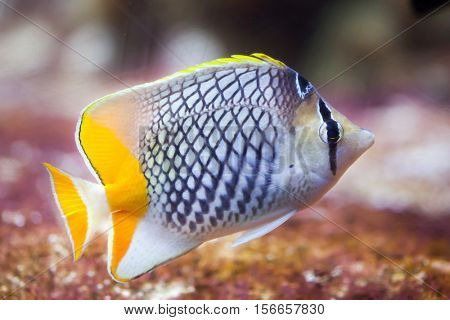 Pearlscale butterflyfish (Chaetodon xanthurus), also known as the Philippines chevron butterflyfish.