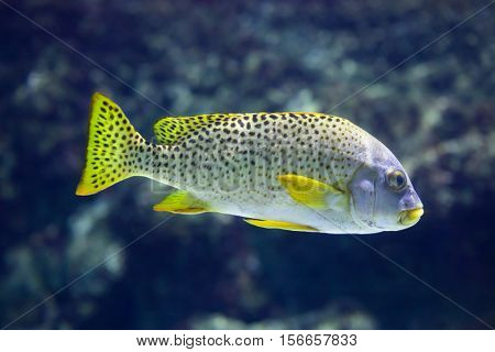 Black-spotted rubberlip (Plectorhinchus gaterinus), also known as the black-spotted sweetlips.