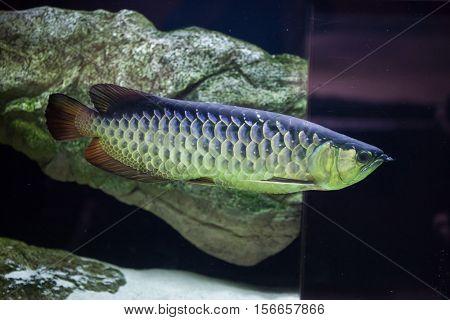 Asian arowana (Scleropages formosus). Freshwater fish.