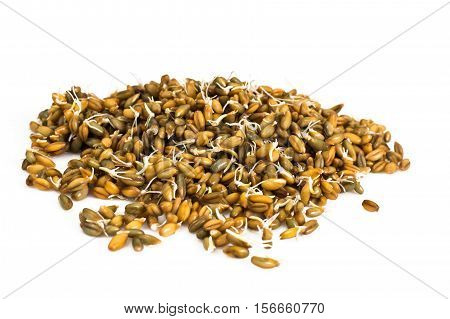 Germinated Wheat, Rye and Barley Studio Photo
