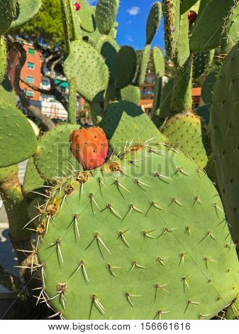 Green leaves of Opuntia cactus plant with its fruit (Prickly Pear) grown near Mediterranean sea