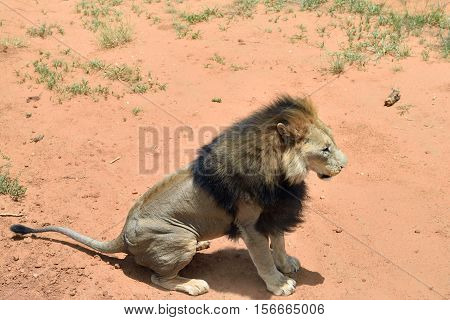 Male lion in African bushveld Namib desert Namibia. View from above