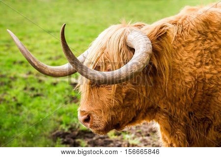 Close-up of Highland Cattle in Glencoe in Scotland