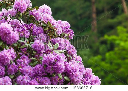 Closeup of Rhododendron bush in bloom and background of green vegetation