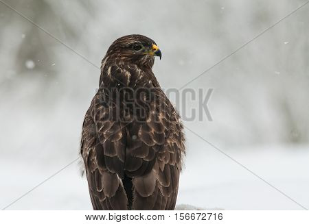 Portrait of Common Buzzard (Buteo buteo) in the winter of looking in the right direction. Frosty and snowy winter day Poland Bory Tucholskie National Park. Horizontal view.