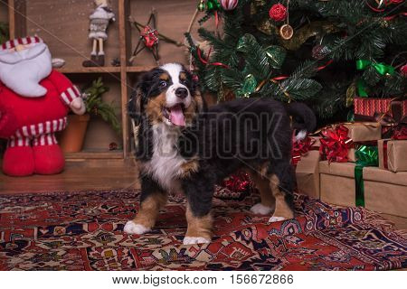 Cute Puppy Of Mountain Dog Sitting Near Christmas Tree.