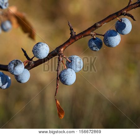 Ripe blue blackthorn berries on a branch