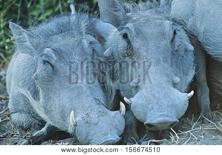 Two Warthogs side by side close-up