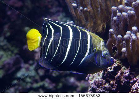 Goldtail angelfish (Pomacanthus chrysurus). Marine fish.