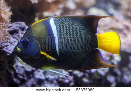 King angelfish (Holacanthus passer), also known as the passer angelfish.