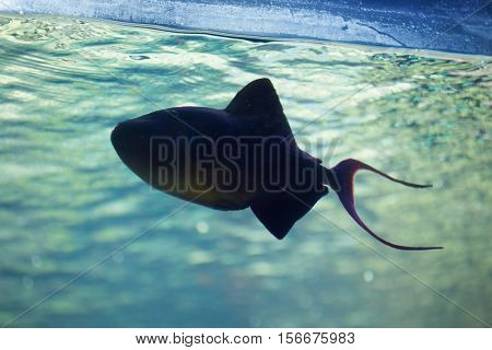 Red-toothed triggerfish (Odonus niger). Wild life animal.