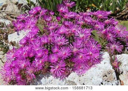 Dorotheanthus / Dorotheanthus is a genus of the family of aizoaceae. The genus name was given by Gustav Dorotheanthus Schwantes honor of his mother Dorothea.