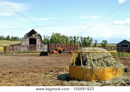 A  feeder loaded with a round bale provides hay to beef cattle in a corral by an old rickety barn.