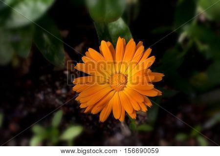 The calendula flowers (Calendula) /  Beautiful garden flowers .
