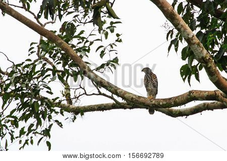Crested Goshawk In The Nature