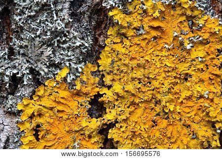 Xanthoria parietina. Orange lichen on a tree trunk