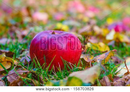 Apple windfalls laying in the grass. Photographed with a specialty lens to obtain a selective focus effect.