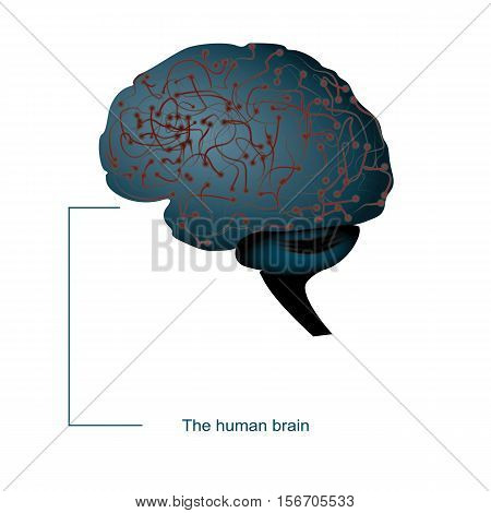 Brain. Background with brain. Brain neurons. The concept of thinking. Human brain. Brain sign