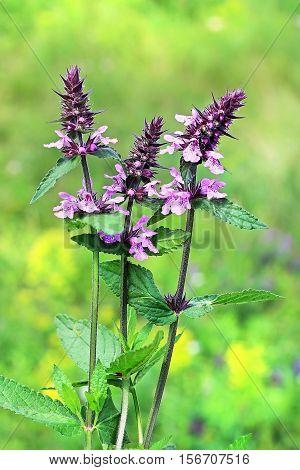 Marsh woundwort (lat.Stachys palustris). Wild medicinal plants of Siberia