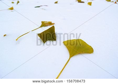 The leaves of tree Ginkgo biloba closeup on the snow.