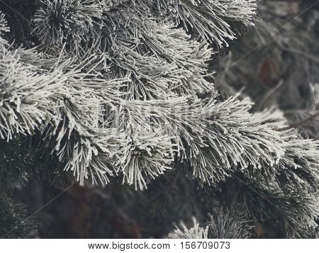 Snowy fir trees in the forest nature cold frost frozen hoar white precipitation