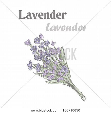 Lavender. Color drawing illustration lavender. 10EPS. Lavender Herb Spice