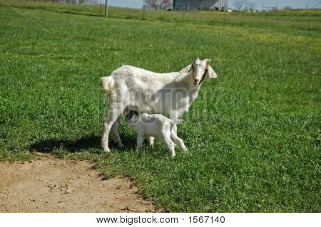 Mother nanny boer goat nursing young kid while standing in grass. poster