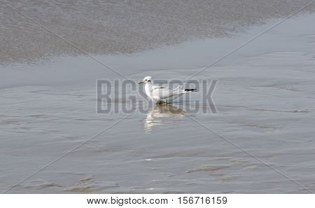 Seagull on the food search in the watt at the North Sea