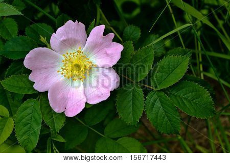 Blooming wild rose hips. Flowering in vivo.