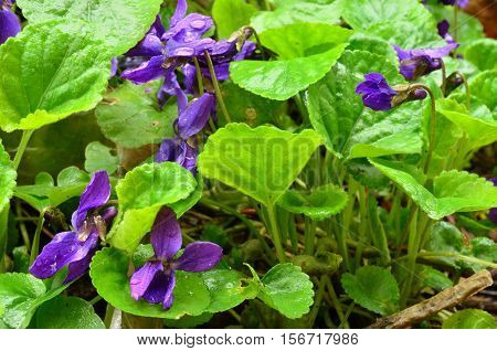 Wild violets with raindrops after heavy spring rain close up view