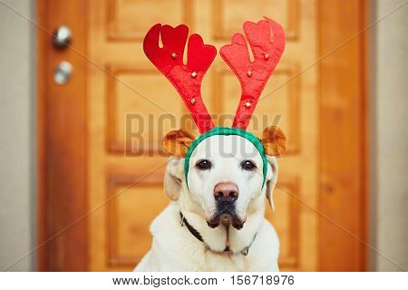 Labrador retriever dressed as a Christmas reindeer is waiting in front of door of the house.