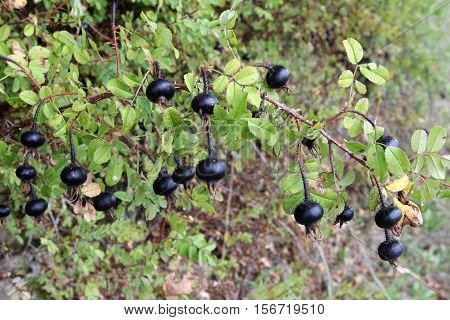 Briar / Black wild rose grows on a bush