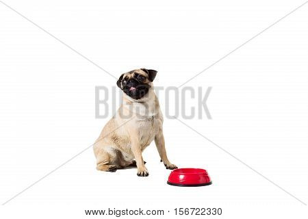 Pug dog isolated on white background. He is sitting near the bowl, waiting for food