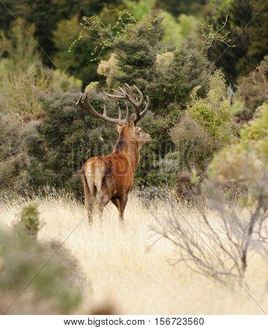 Male (Stag) Red Deer (cervus elaphus) walking through typical range in New Zealand