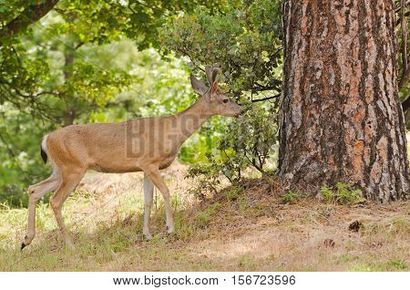 Male (buck) Californian Black-tailed deer in velvet feeding and walking through typical forested area