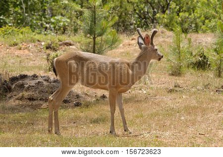 Male (buck) Californian Black-tailed deer(odocoilus hemionus) in velvet feeding and walking through typical forested area