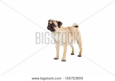 Pug dog isolated on white background. standing and looking
