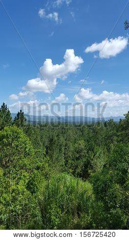 bosque de pino en la bisofera hondureña
