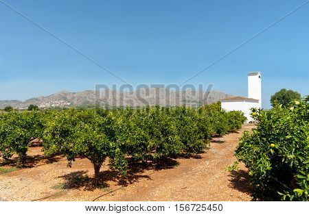 Citrus orchards deep green leaves on the rows of orange tree and red stoney soil with characteristic whit plaster building In Valencia region Spain.