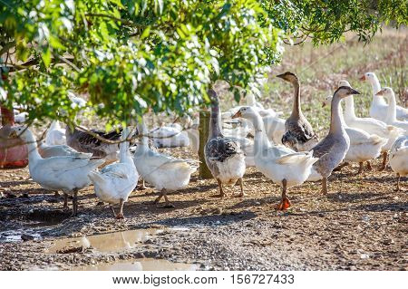 Flock Of Duck Roam Freely In A Lush Green Paddock Of An Organic Breeding
